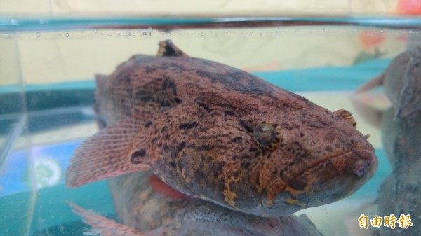 台南市養殖業者陳文湖取得全台第一張筍殼魚產銷履歷驗證。(記者劉婉君攝)