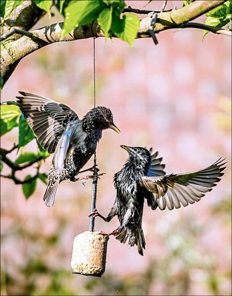 英國科學家發現,椋鳥等鳴禽在接觸到自然環境中越來越常見的抗憂鬱藥物後,改變求偶行為,可能讓野生鳴禽陷入繁衍危機。(法新社檔案照)