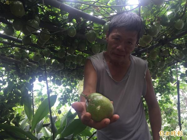 農友陳元田百香果結實上千顆。(記者張存薇攝)