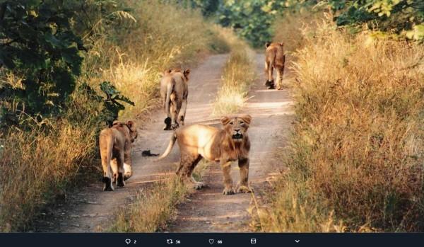 網友在推特上貼出獅子自由在草原中漫步的模樣。(圖擷取自推特)