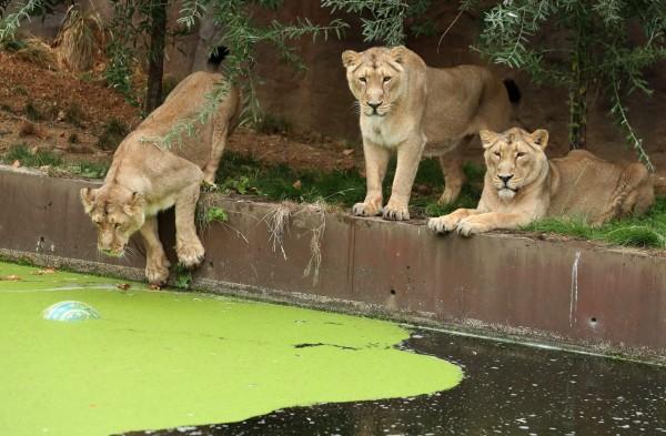 今日(8月10日)是「世界獅子日」,節日旨在推廣獅子的保育與相關知識。(法新社)