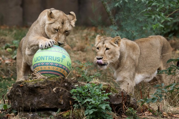 倫敦動物園內,被飼養的獅子與印度特色的玩具球玩耍。(法新社)