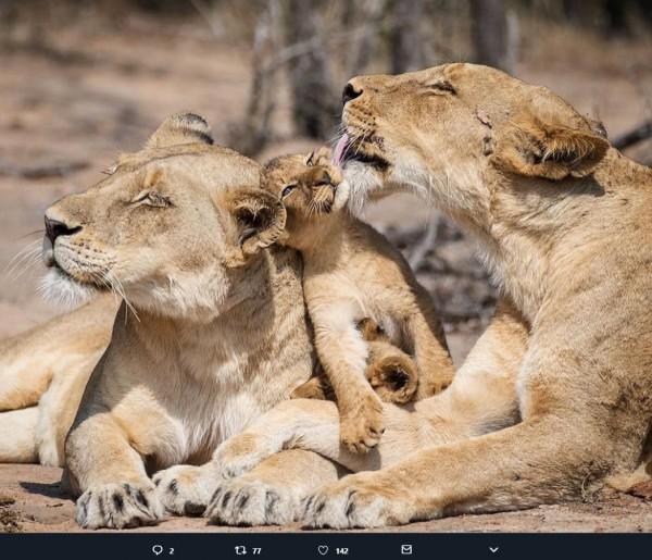 有網友在推特上PO出獅子家庭和樂融融的模樣。(圖擷取自推特)