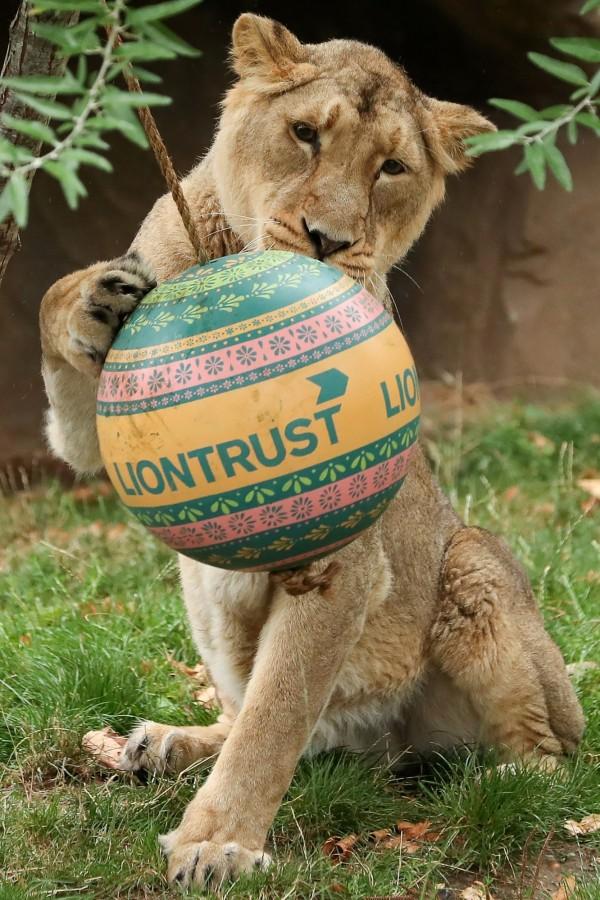 倫敦動物園內的小獅子也響應「世界獅子日」,玩耍著帶有原生地印度特色的小球。(法新社)