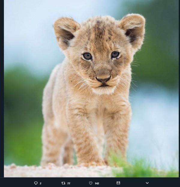 許多網友在推特上PO出可愛獅子的照片。(圖擷取自推特)