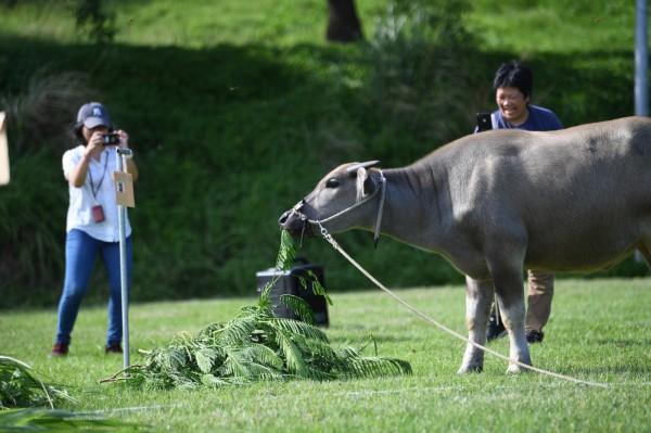 台北藝術大學養的台灣牛「奧米加咆哮獸」去年產下新生小牛,校方替其舉辦抓周儀式,讓小牛自己吃草並決定名字,最後小牛選中「犇爺」一名,氣勢不凡。(北藝大提供)