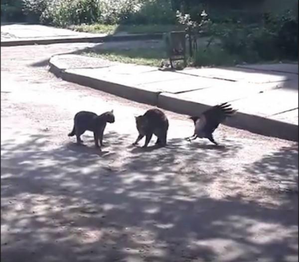 烏鴉看見2隻貓咪打架,上前當和事佬。(圖擷取自YouTube)