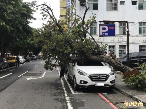 基隆義四路珍貴老樹傾倒壓損車輛。(記者盧賢秀攝)