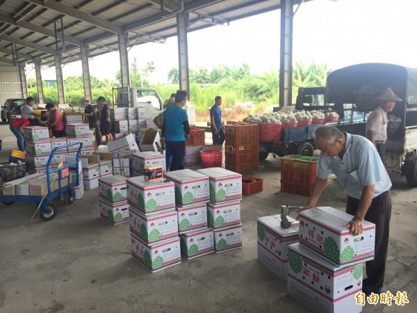 農友在集貨場忙進忙出,為什麼釋迦分級包裝。(記者張存薇攝)