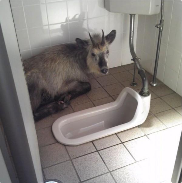日本遊客上公廁時,開門發現一隻羚羊在裡頭趴著。(圖擷取自@HisatarouFire推特)