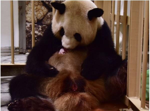 25歲公熊貓「永明」與17歲母熊貓「良濱」昨日又生下1隻小熊貓寶寶。(圖片擷取自白浜冒險世界主題樂園官網)