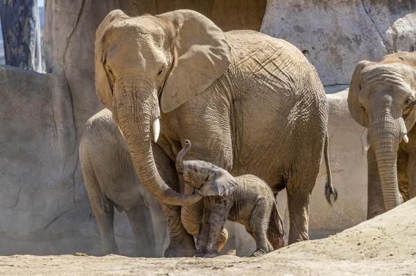 美國芝加哥大學發布最新研究指出,大象體內名為「LIF6」的「殭屍基因」能夠抗癌。(美聯社)
