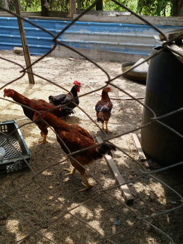 胡傳明在澳花部落上村一帶,商借空地養雞,平常由派出所志工負責餵養,若村里有病民,所長雞就成了最好補品。(記者張議晨翻攝)