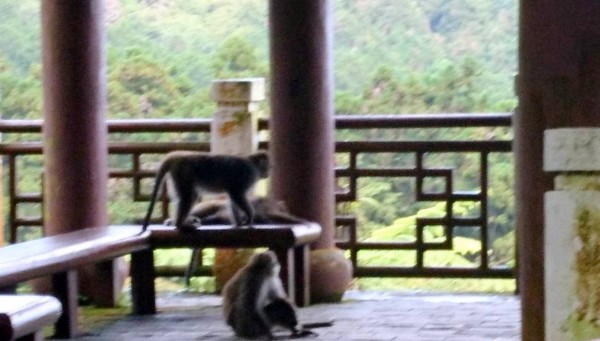 台大實驗林管處溪頭自然教育園區,今發生一起獼猴攻擊在涼亭休息山友的意外事件。(記者謝介裕翻攝)