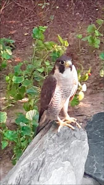 台中市張姓市民在庭院發現一隻受傷的保育類動物「游隼」,,是世界上飛得第一快的鳥類。(警方提供)