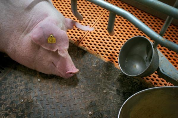 中國單月爆發出第3起非洲豬瘟疫情。(路透)