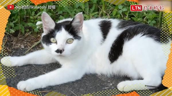 現在貓咪可謂是人類爭相追捧的寵物之一,但大家知道日本竟然有地方拜貓神嗎?(圖片由Iku老師/Ikulaoshi授權提供使用)