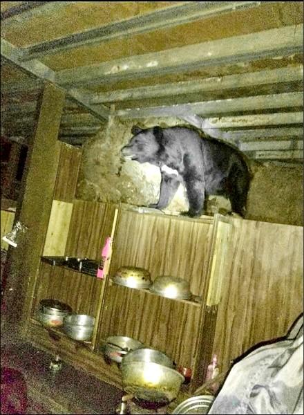 台灣黑熊十八日深夜又現身向陽山屋廚房,被高山協作員近距離拍下照片。(天馬登山隊提供)