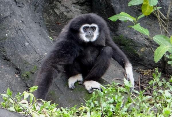 白手長臂猿「阿寶」已經當阿公囉。(台北市立動物園提供)
