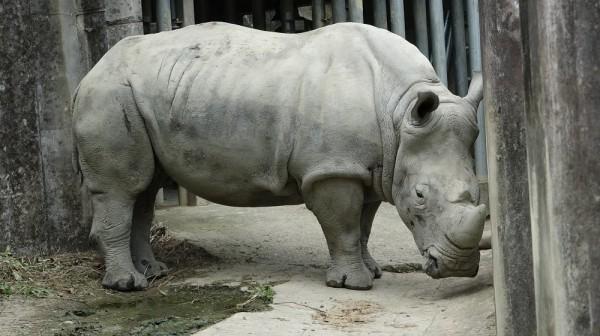 非洲動物區拜訪白犀牛奶奶「犀慧」。(記者蔡亞樺攝)