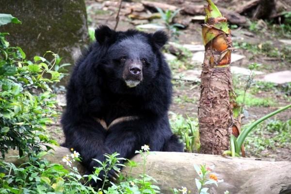 台灣黑熊「小熊」已經29歲了,還是老當益壯。(台北市立動物園提供)
