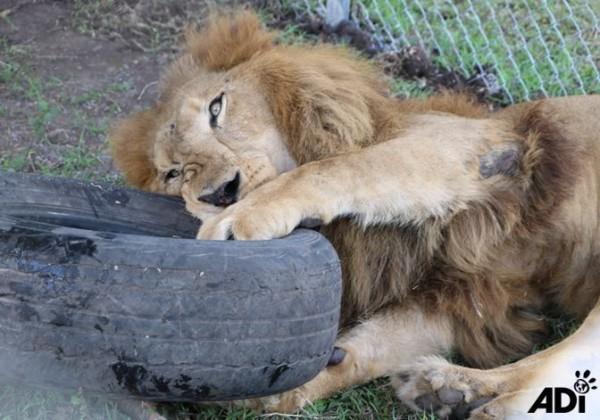 近期瓜地馬拉一群在馬戲團長年表演的獅子被救出後,獅子金八(見圖)待在動保團體打造的園區,玩耍模樣萌翻許多網友。(圖擷取自ADI臉書)