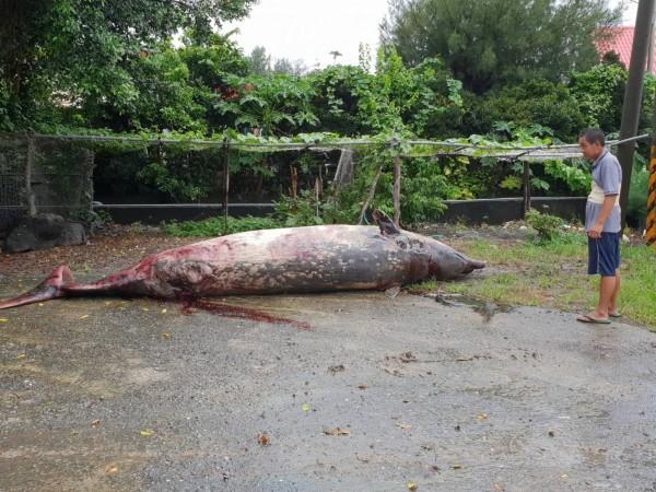 鯨豚體積龐大。(記者蔡宗憲翻攝)