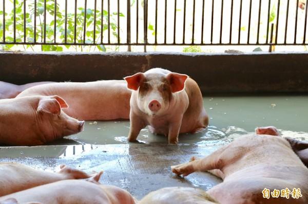 非洲豬瘟致死率100%,如傳進台灣將重創台灣養豬產業,防疫所呼籲農戶共同嚴陣以待。(記者邱芷柔攝)