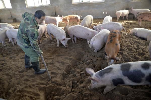 中國非洲豬瘟疫情蔓延讓鄰近國家拉緊報,南韓近日在來自中國的加工食品內檢測到非洲豬瘟病毒,讓檢疫單位處於警戒狀態。(美聯社)