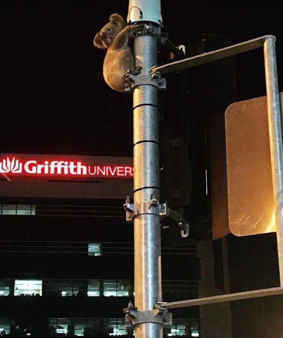 無尾熊傑克緊緊的抱著路口的號誌燈桿。(圖擷自澳洲野生動物保護組織「Wildcare Australia」臉書粉專)