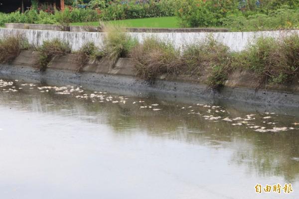 竹南鎮射流溝漂浮上千隻死魚,並已散發惡臭。(記者鄭名翔攝)
