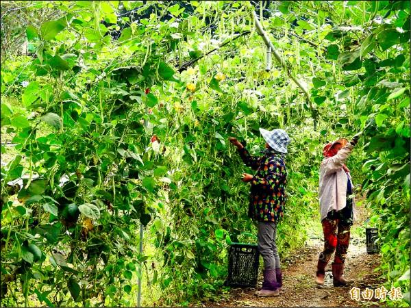 近來菜價上揚,南投縣仁愛鄉農民冒雨搶收成熟的敏豆,希望賣得好價錢。(記者佟振國攝)