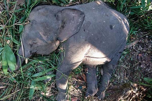 馬來西亞瀕臨滅絕的婆羅洲侏儒象(pygmy elephant)今年死亡數量激增。(法新社)