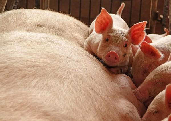 中國非洲豬瘟疫情持續擴散,已傳出第5起疫情。(路透)