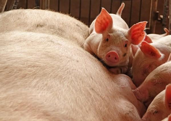 中國爆出豬瘟疫情,美國農業部長帕度(Sonny Perdue)推測,中國可能壓抑了豬瘟的相關報導。(路透)