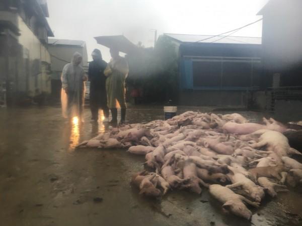 豬隻統計至今,共損失1萬0610頭。(翻攝資料照)