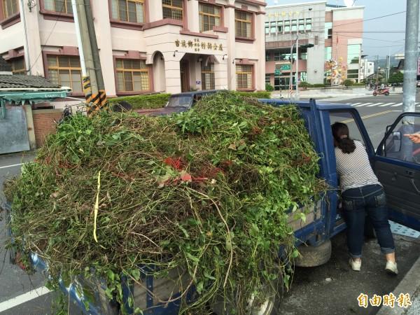 杜絕小花蔓澤蘭危害,林務局每公斤5元收購。(記者黃淑莉攝)