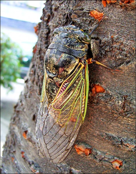 日本近年常見的熊蟬(bear cicada,日語稱kumazemi),其名來自於比其他種類的蟬更大的體型和更宏亮的鳴叫聲。(取自網路)
