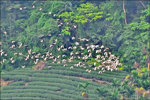 黃頭鷺在梅山鄉太興村的天空遨遊。(嘉義縣野鳥學會陳建樺提供)