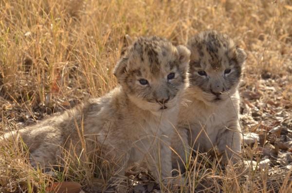 世界上第1對試管幼獅,小公獅維克托與小母獅伊莎貝,近日在南非烏庫土拉禁獵區及保育中心平安出生。(圖取自「Ukutula Lodge & Conservation Center」網站)