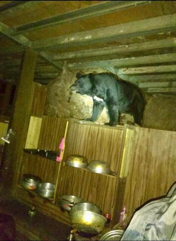 8月18日高山協作員在向陽山屋廚房拍到台灣黑熊進入廚房覓食畫面。(天馬登山隊提供)