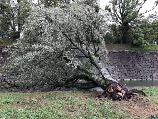 二条城西側路樹被強風吹倒。(圖擷取自Twitter)