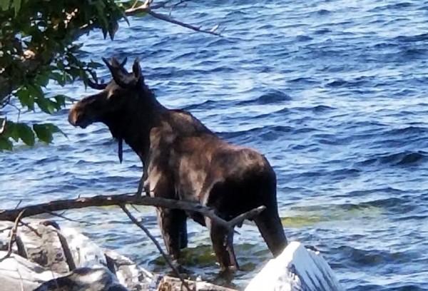 美國一隻駝鹿因被遊客圍觀不敢上岸休息,最後溺死在湖裡。(美聯社)