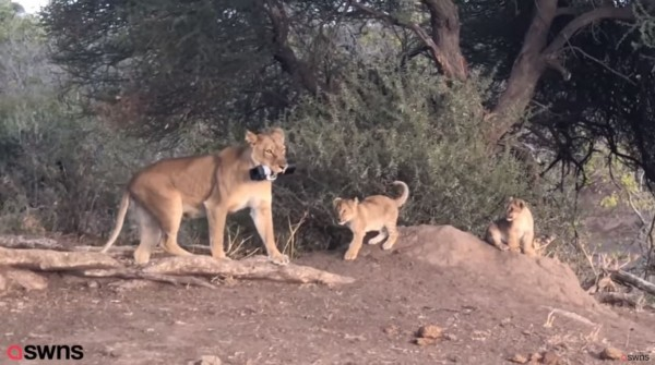 1名女性探險家,先前在非洲掉落1台要價2000英鎊的單眼相機,被母獅叼給幼獅玩。(圖擷取自SWNS)