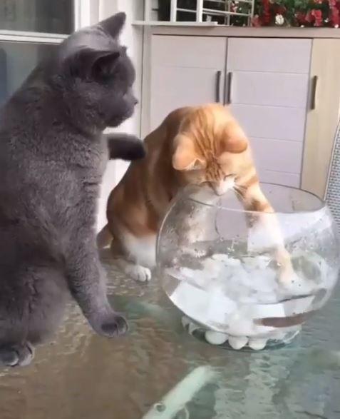 1隻灰貓看到橘貓在玩弄魚缸裡無助的魚後,馬上「見義勇為」地打了橘貓一下。(圖擷取自「kittensmajor」 Instagram)