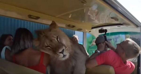 公獅爬入遊客座席與群眾進行親密互動,趴在女遊客身上伸出舌頭臉部,讓遊客們樂不可支。(圖擷取自YouTube)
