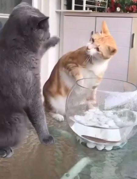 正在玩魚的橘貓被打後,一臉疑惑地抬頭看灰貓。(圖擷取自「kittensmajor」 Instagram)