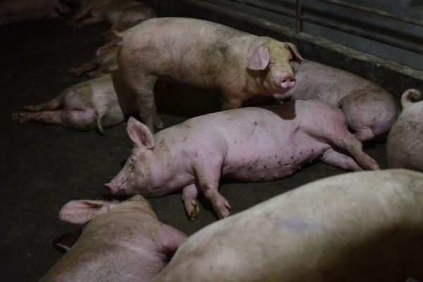 對於中國蔓延的非洲豬瘟,當地民眾指出,仍有許多豬肉在市場上流通,絲毫不知道豬瘟的嚴重。(法新社)