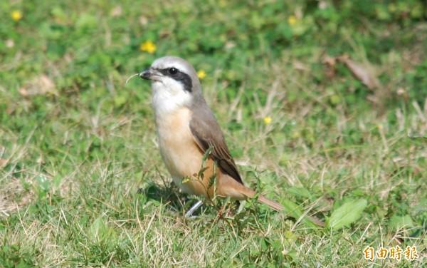 過境候鳥「紅尾伯勞」,近日已經在屏南地區現蹤。(記者蔡宗憲攝)