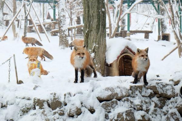 宮城藏王狐狸村。(業者提供)